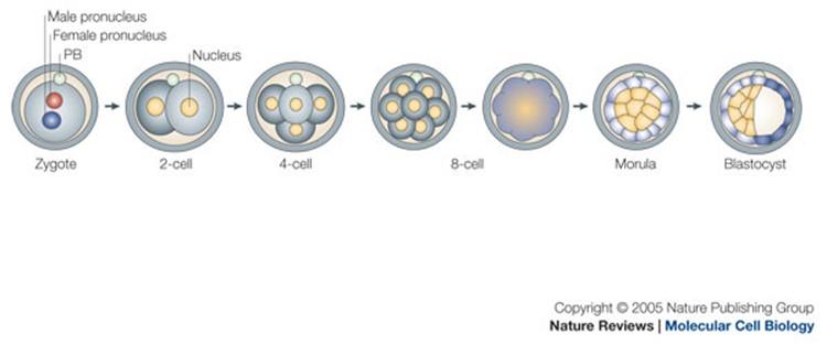 Pembelahan Sel Telur