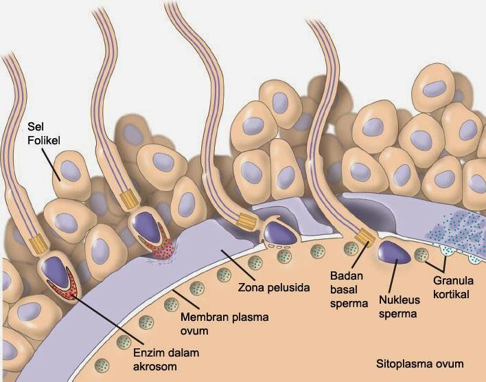 Proses Fertilisasi Sebelum Kehamilan