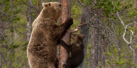 Anak Beruang Memanjat Pohon