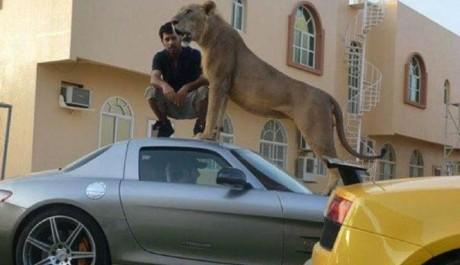 Saudagar Arab Pamer Mobil Mewah dengan Singa