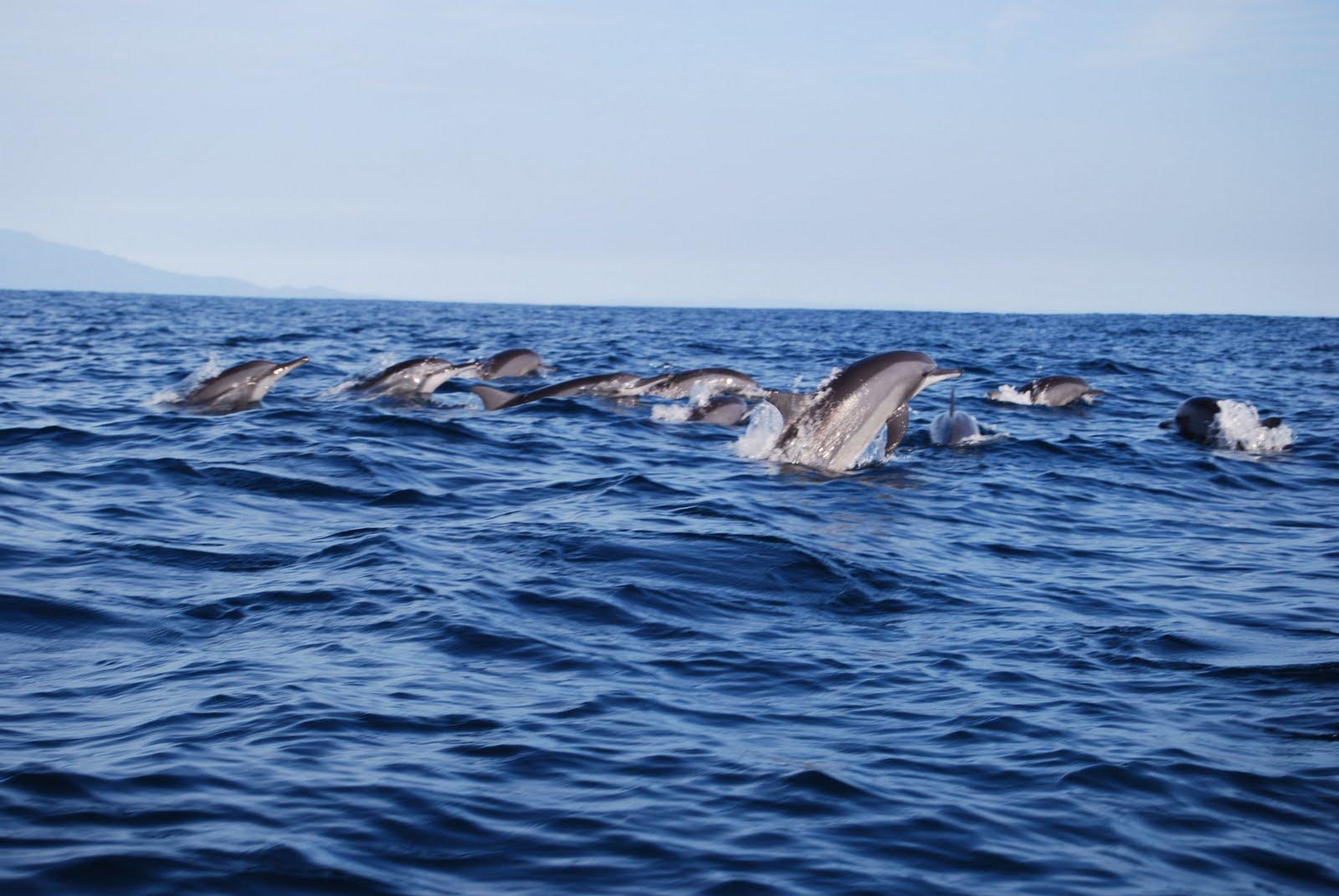 Pulau Kiluan Dijual, Wisata Lumba-lumba