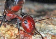 Semut Meledak - Exploding Ant
