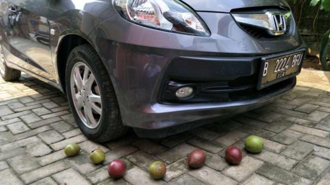 Buah bintaro dapat usir tikus bersarang di mobil - VIVA.co.id/Jeffry