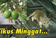 Cegah dan Usir Tikus dari Mesin Mobil dengan Buah Bintaro - Src Youtube